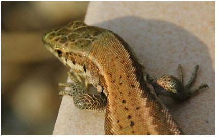hagedissie of een salamander of zo